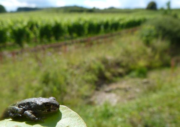 Amphibien wurden bei den Zulassungsverfahren für Pestizide bislang nicht berücksichtigt. Das Bild zeigt eine junge europäische Wechselkröte (Bufo viridis) in einem Weinberg in Süddeutschland. Foto: Carsten A. Brühl, Universität Koblenz-Landau