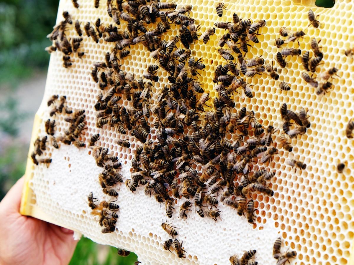Die Honigwabe mit frischem Nektar hat Komor, aus ihrem zuvor gewonnen Wachs, eigenhändig gegossen.