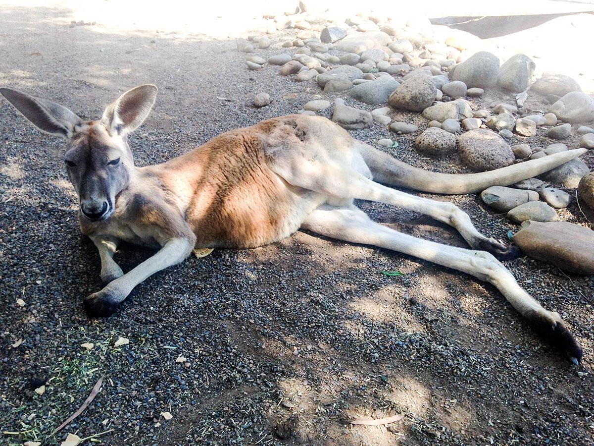 Kängurus: Die springenden Vierbeiner findet man überall in Australien.