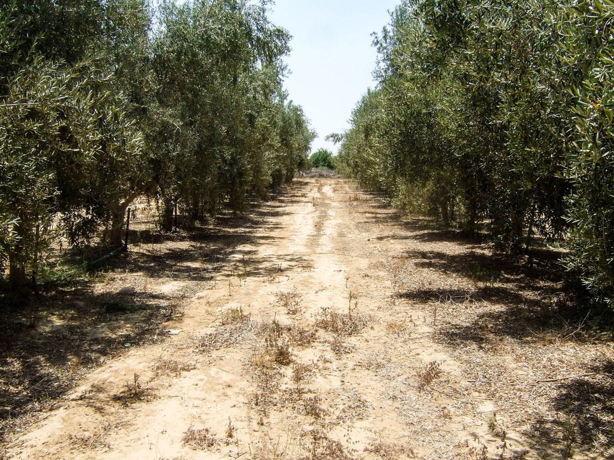 Die Gilat-Forschungsstation in Südisrael: Das Foto zeigt eine charakteristische Anbauweise, um eine mechanische Olivenernte zu ermöglichen. Foto: Markus Kurtz