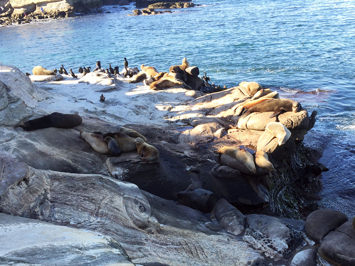 In La Jolla, einem Stadtteil San Diegos direkt an der Küste, kann man Robben am Meer bewundern.