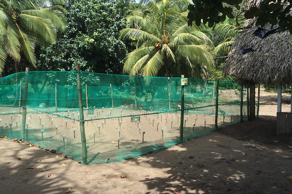 Die eingebuddelten und markierten Eier sind durch einen Zaun vor Fressfeinden geschützt. Foto: Lisbeth Wolf